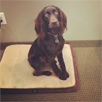 Cash the Office Dog is a loving Boykin Spaniel.  He spends a lot of time napping.