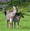Zebra Mom & Baby at Serengeti Plains – Tanzania