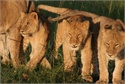 Lion Cubs at Masai Mara