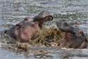 Hippos at Zambezi River – Zimbabwe