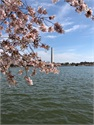 MiyeWire, LLC Cherry Blossom Viewing Picnic on The National Mall - April 2019
