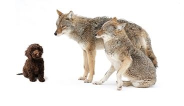 When Coyotes Howl--Are You Ready?