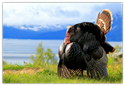 Turkeys have played a central role in the history of the United States.