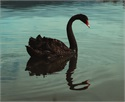 A New Black Swan Event?